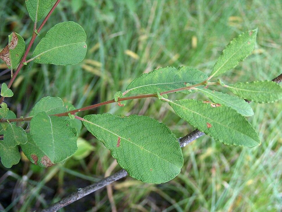 Salix aurita Virpapaju C H7649