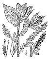 Salix cordata(01).jpg