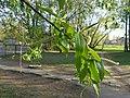 Salix fragilis 02.JPG