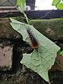 Salt marsh moth 2.jpg