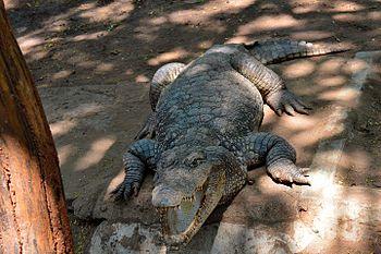 Salt water crocodile.jpg