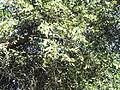 Salvdora persica-jodhpur-India.JPG