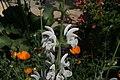 Salvia argentea 3zz.jpg