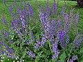 Salvia pratensis 2.JPG