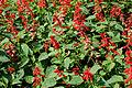 Salvia splendens W IMG 4270.jpg