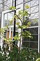 Sandoricum koetjape Manila 4zz.jpg