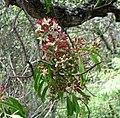 Santalum freycinetianum (5209515295).jpg