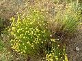Santolina rosmarinifolia2.jpg