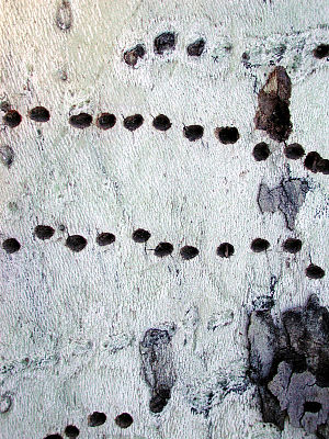 Girdling - Holes drilled by Red-naped Sapsucker in Platanus wrightii - an Arizona Sycamore