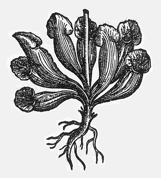 Sarracenia purpurea - Oldest known illustration of Sarracenia purpurea, from Clusius's Rariorum plantarum historia, cf. 18, 1601