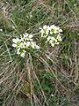Saxifraga bulbifera sl4.jpg