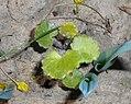 Saxifraga rotundifolia 2016-04-22 8495.jpg