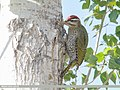 Scaly-bellied Woodpecker (Picus squamatus) (48701243632).jpg
