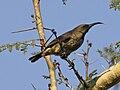 Scarlet-chested Sunbird RWD.jpg