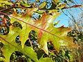 Scarlet Oak (Quercus coccinea) autumn leaf, Hertfordshire (8260047181).jpg
