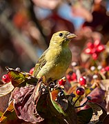 Scarlet tanager in GWC (25330).jpg