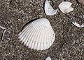 Sea Shells - Deniz kabukları 03.jpg
