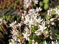 Sedum anglicum subsp. pyrenaicum (14971111047).jpg