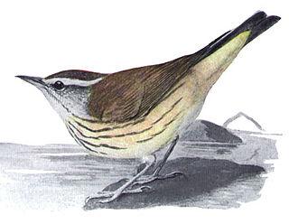 Louisiana waterthrush species of bird