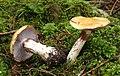 Semmelgelbe Schleimkopf Cortinarius varius.jpg