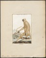 Semnopithecus entellus - 1700-1880 - Print - Iconographia Zoologica - Special Collections University of Amsterdam - UBA01 IZ19900013.tif