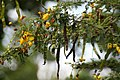 Senna polyphylla 32zz.jpg