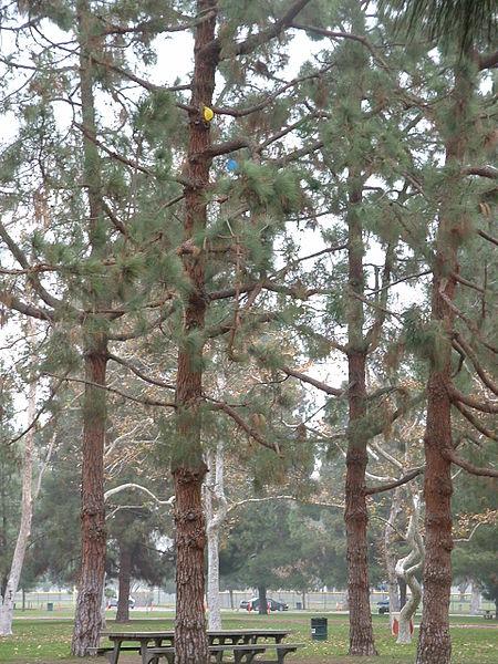 File:Sequoia Pines Long Beach CA.jpg