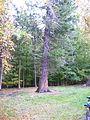 Sequoia in Hydeskov.JPG