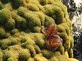 Serpulidae of some kind (5295167633).jpg