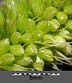 Setaria italica subsp. italica sl38.jpg