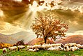 Sheeps on mountain in Transilvania.jpg
