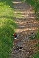 Sheppey Pheasant - geograph.org.uk - 389643.jpg