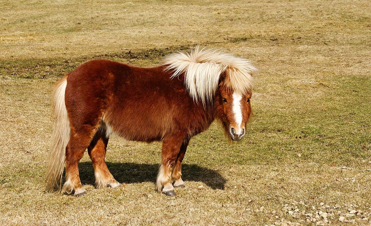 Shetland cheval wikip dia - Tchoupi et le poney ...