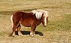 Shetland pony - Postbridge.jpg