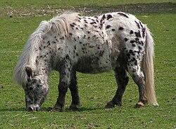 Shetland pony dalmatian2.jpg