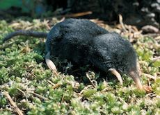 Shrew Mole (Neurotrichus gibbsii).jpeg