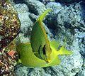 Siganus corallinus 2.jpg