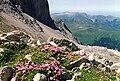 Silene acaulis (Pyrenees) 2.jpg