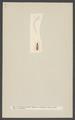 Silvanus - Print - Iconographia Zoologica - Special Collections University of Amsterdam - UBAINV0274 001 03 0036.tif