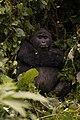 Silverback in Uganda.jpg
