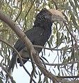Silvery-Cheeked Hornbill (2261538894).jpg