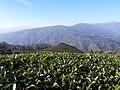 Simpani Tea Garden.jpg