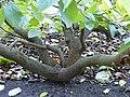Sinowilsonia henryi-Jardin des plantes 04.JPG
