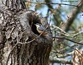 Sitta canadensis feedding its mate at nest.jpg