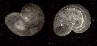 <i>Skenea</i> Genus of gastropods