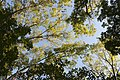 Skyward through Hickory Trees 1.jpg