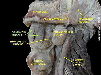 Geniohyoid muscle - Image: Slide 9ss