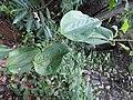 Smilax wightii-3-chemmunji-kerala-India.jpg