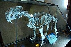 Smilodon populator La Plata Museum.jpg