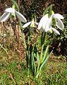 Snowdrops Galanthus nivalis Atkinsii.JPG